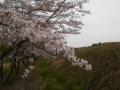 桜樹下から館 (2)