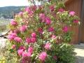 石楠花 (1)