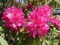 石楠花 (2)