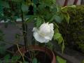 薔薇0510 (2)