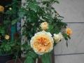 薔薇0510 (3)