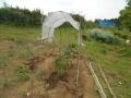 トマトの屋根0516 (3)