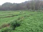 端記茶楼のクレソン畑