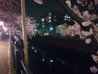 大岡川 夜桜 散歩 麺や
