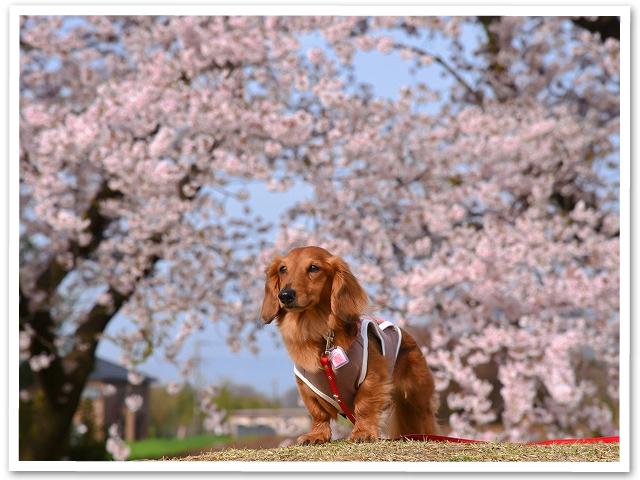 満開桜を求めて PartⅠ