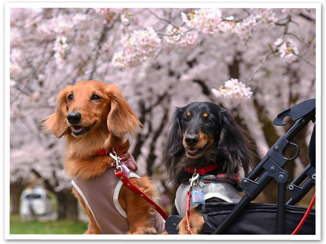 満開桜を求めて PartⅡ
