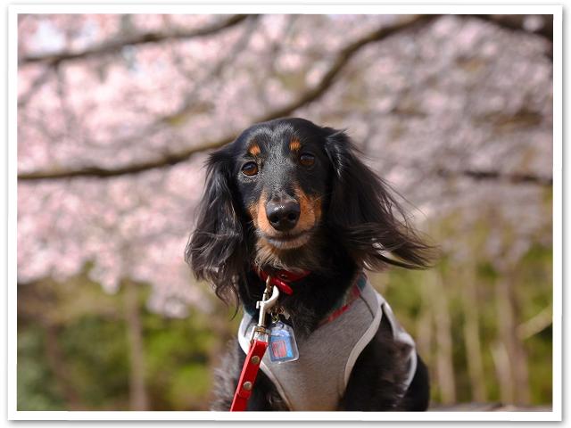 満開桜を求めて PartⅢ