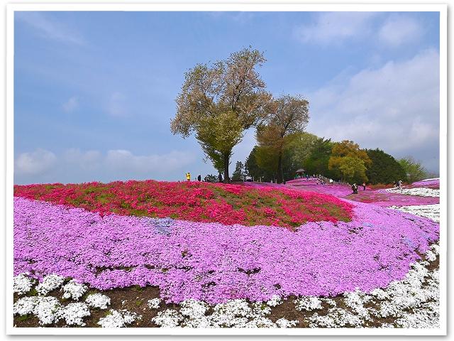 みさと芝桜まつり
