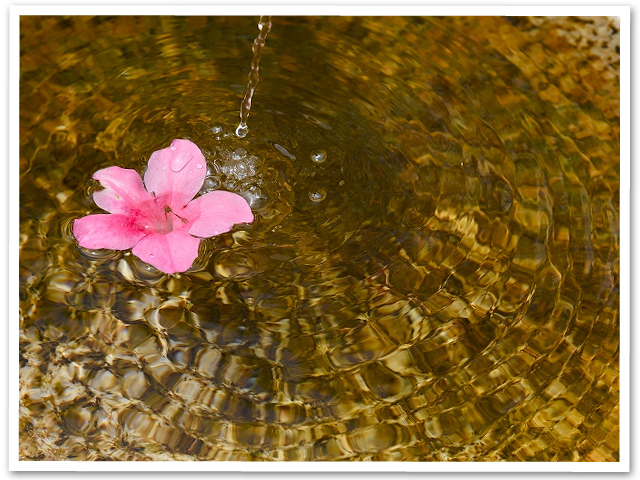 昭和記念公園のシャーレーポピー