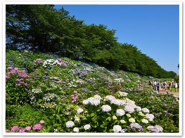 紫陽花☆権現堂公園
