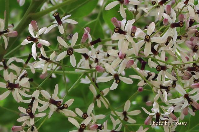 センダンの木の花