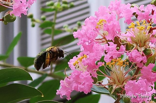 サルスベリとハチ