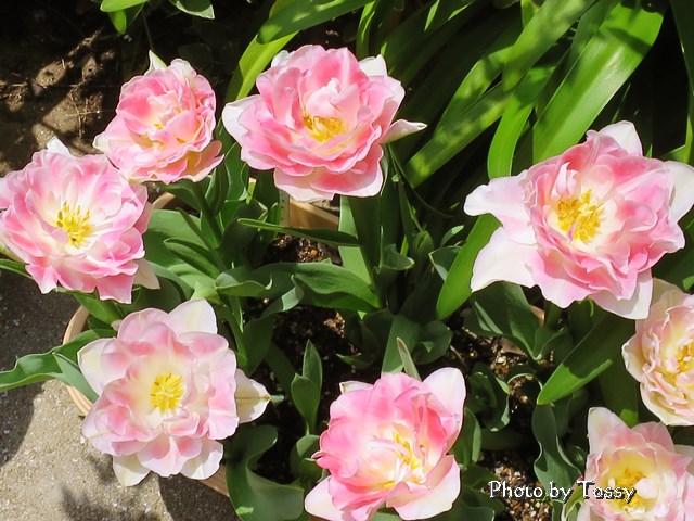 八重咲チューリップ