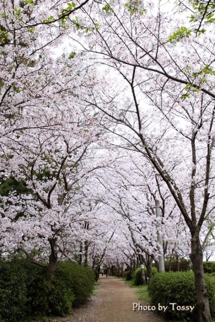 さくら堤 桜のトンネル