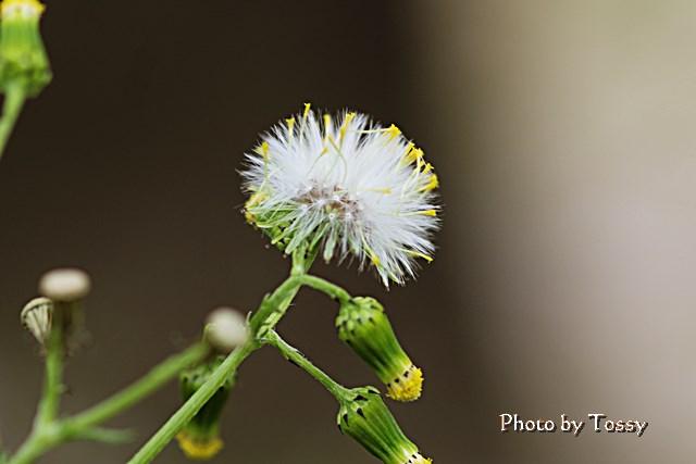 タンポポに似た花
