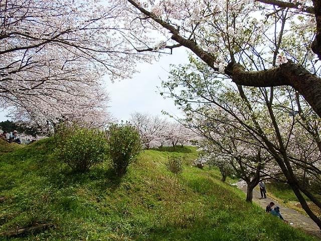 桜(染井吉野)(143822 byte)