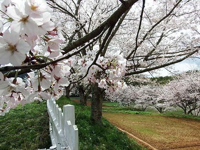 桜(染井吉野)(129289 byte)