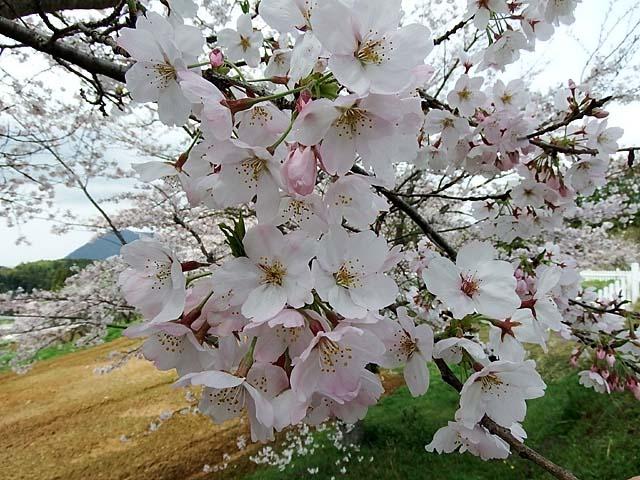 桜(染井吉野)(91210 byte)
