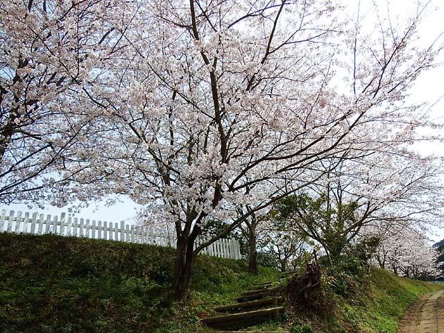 桜(染井吉野)(150024 byte)