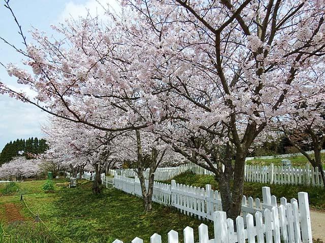 桜(染井吉野)(142808 byte)