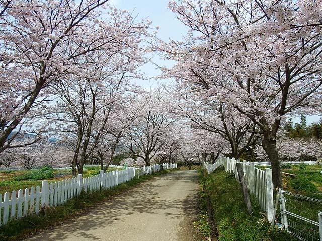 桜(染井吉野)(144771 byte)