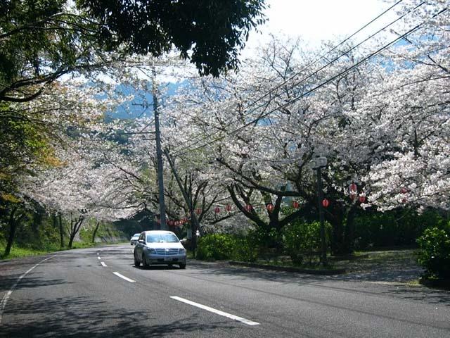 桜(染井吉野)(102386 byte)