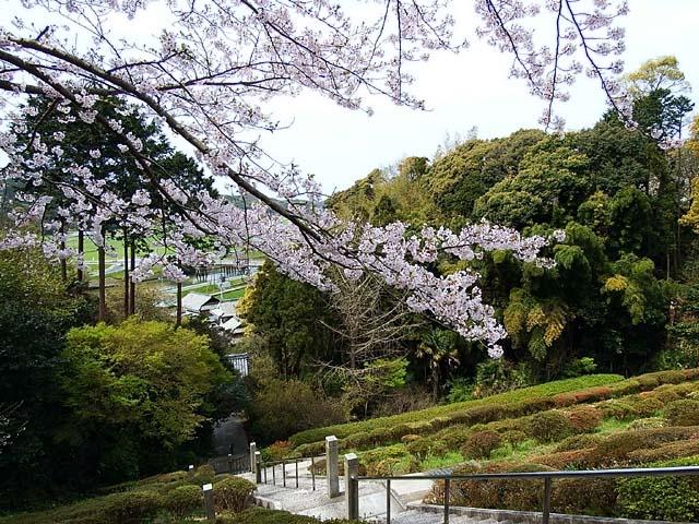 桜(染井吉野)(124085 byte)