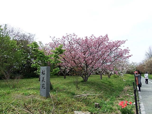 御室桜(おむろざくら)(98389 byte)
