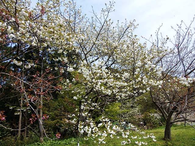 御室桜(おむろざくら)(147914 byte)