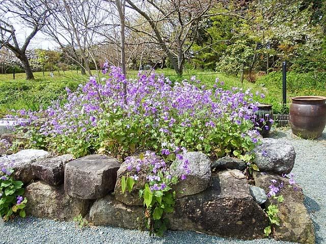 紫花菜(むらさきはなな)(159452 byte)
