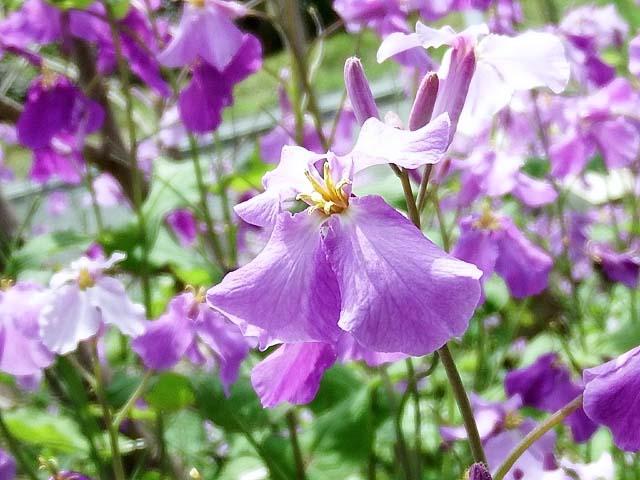 紫花菜(むらさきはなな)(62165 byte)