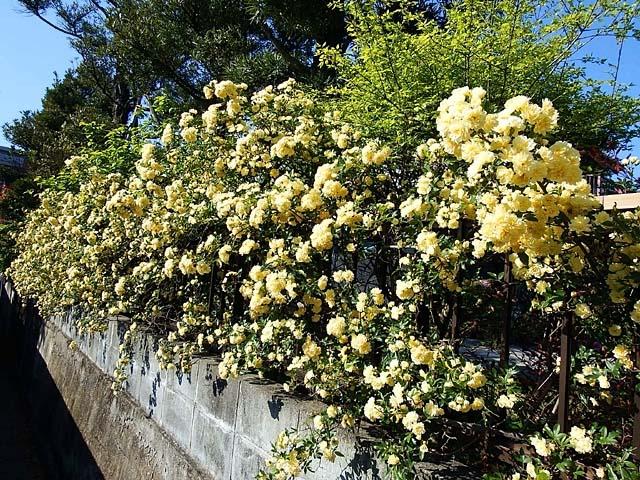 木香薔薇(もっこうばら)(158577 byte)