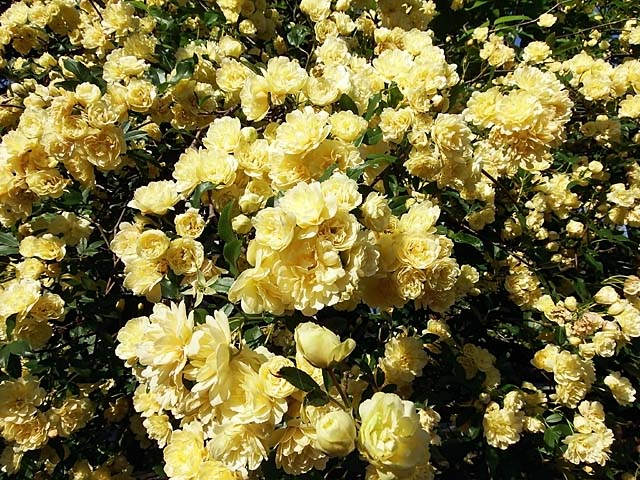木香薔薇(もっこうばら)(128649 byte)