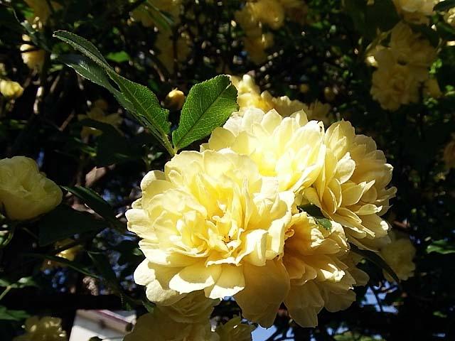木香薔薇(もっこうばら)(59667 byte)