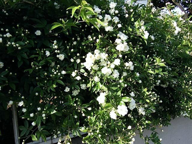 木香薔薇(もっこうばら)(114491 byte)