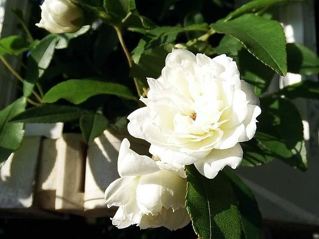 木香薔薇(もっこうばら)(47450 byte)