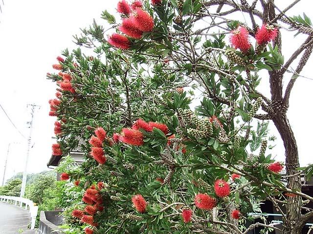 金宝樹(キンポウジュ)/ブラシの木(123717 byte)