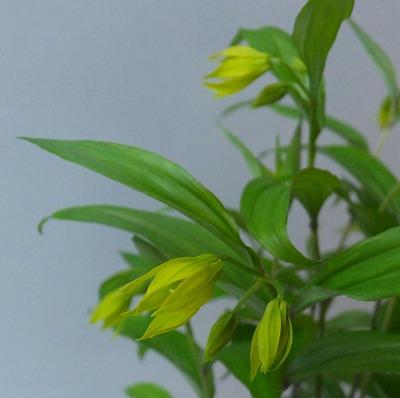 黄花チゴユリH28年4月B