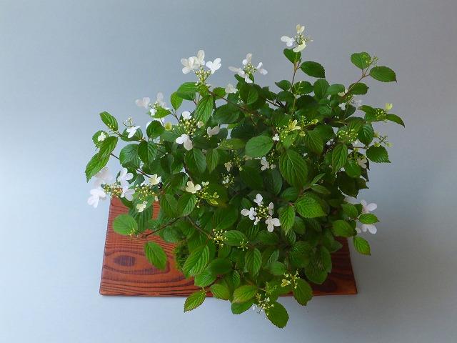 四季咲きヤブデマリH28年4月