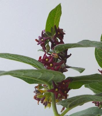フナバラ草H28年6月B