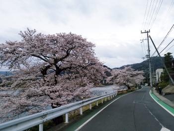20160403桜2