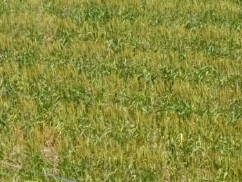 20160517麦畑