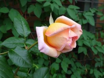 ROSE2016052901.jpg