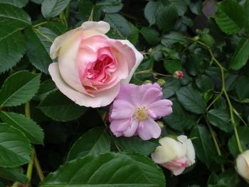 ROSE2016052902.jpg