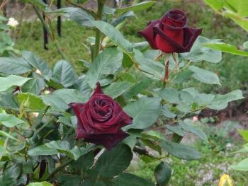 ROSE2016052903.jpg