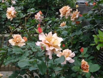 ROSE2016052904.jpg