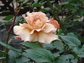 ROSE2016052905.jpg