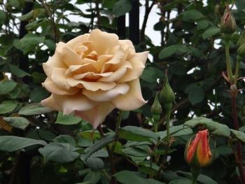 ROSE2016052906.jpg