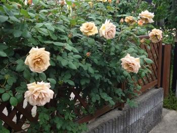 ROSE2016052907.jpg