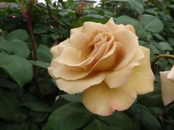 ROSE2016052908.jpg